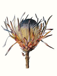 Gillian Barlow, Protea Compacta, 2014, watercolour on vellum, 32 x 32 cm